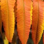 Blätter Essigbaum