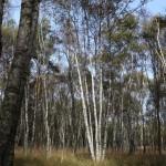 Birkenwald Wahner Heide